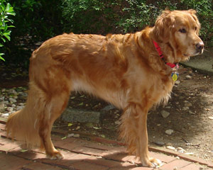 long island golden retriever rescue golden retriever rescue 300x240